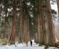 奥社への参道は杉並木