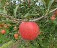飯綱名産、ふじりんご。今年のお味は?